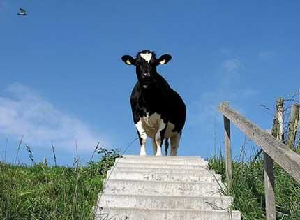 Image result for It is possible to lead a cow upstairs but not downstairs.