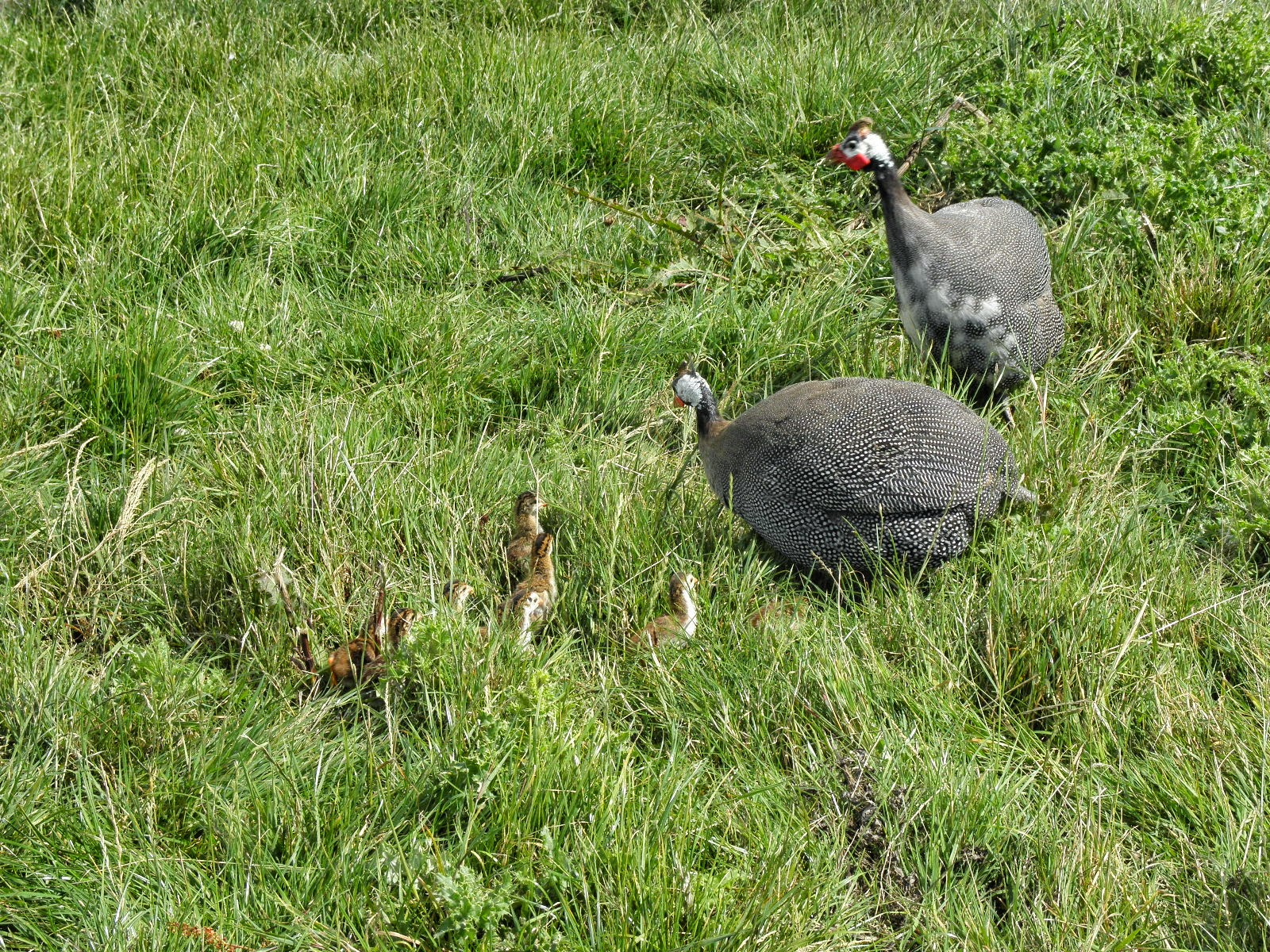 Guinea Fowl Chicks - Keets