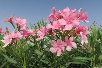 pohon bunga peneduh