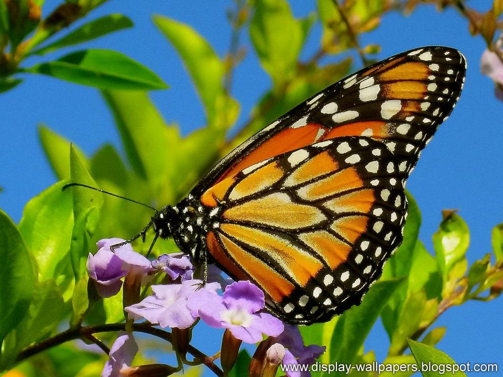 Butterfly Desktop Wallpaper HD
