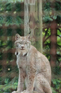 Lynx Giving A Look.