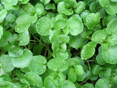 Watercress: Nutrition Facts & Health Benefits