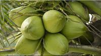 gambar buah kelapa, bahasa arab kelapa