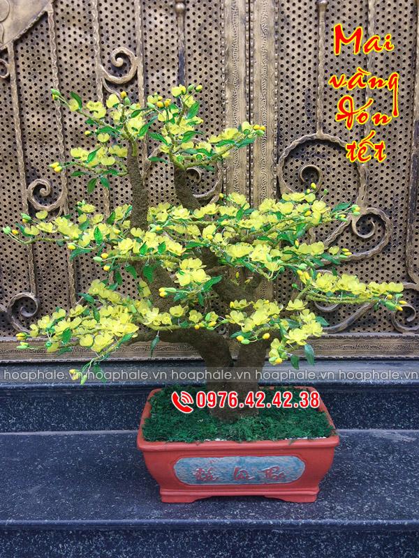 Goc bonsai cay hoa mai tai Mac Thai Tong