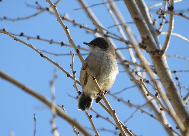 Sardinian Warbler - Mallorca