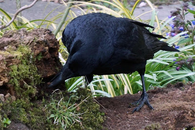 crow, wildlife, birds,
