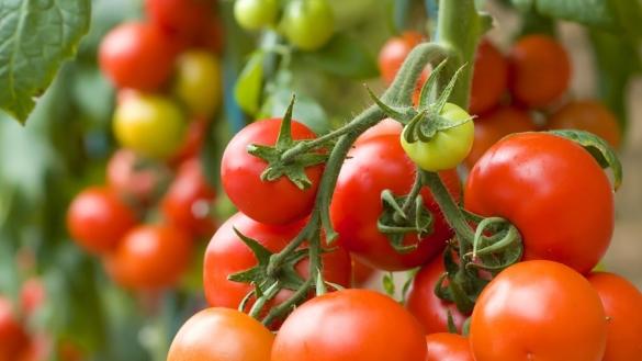 La tomate Marocaine passe devant la tomate Turque en Russie.
