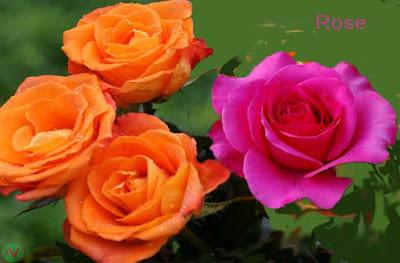rose flower, rose