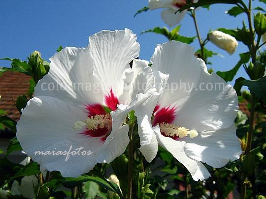 Rose of Sharon flowers against the blue sky