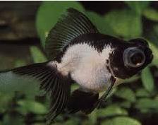 Jenis Ikan Koki Panda Moor