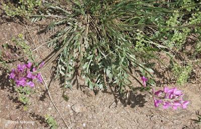 Colorado loco, Oxytropis lambertii