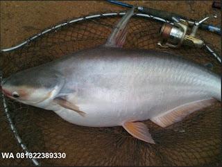 Umpan Pelet Serbuk Ikan Patin Indukan