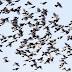 数え切れない程のヒヨドリの群れ