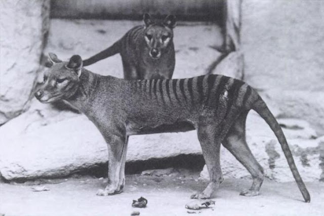 Neuro-imaging maps brain wiring of extinct Tasmanian tiger