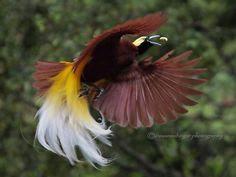 A ave-do-paraíso pertence a um grupo pássaros cuja família engloba 14 gêneros e cerca de 43 espécies, todas chamadas aves-do-paraíso.  O grupo é típico da Australásia e está presente nas regiões tropicais do Norte da austrália, Nova Guiné, Indonésia e nas Ilhas Molucas. As aves-do-paraíso habitam principalmente zonas de floresta tropical e manguezais.