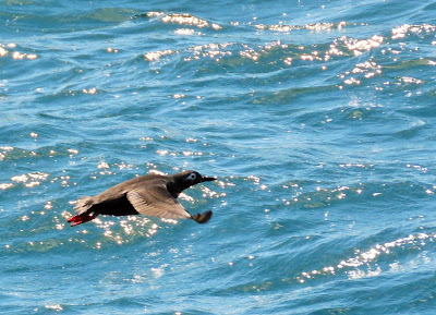 ケイマフリ ≪Spectacled Guillemot≫