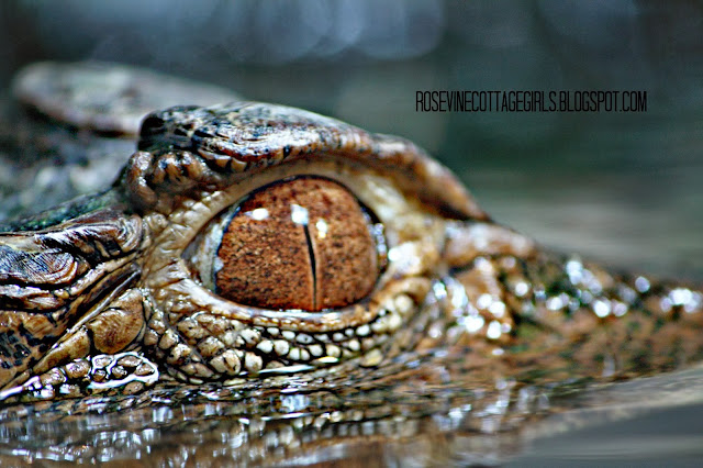 Caiman - Photo by Rosevine Cottage Girls (C) Rosevine Cottage Girls