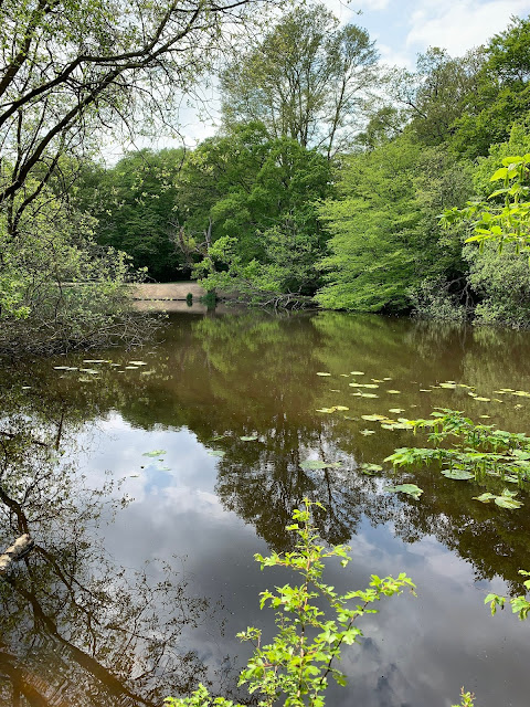 A pond in Epping Forest with Lily pads and green trees