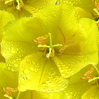 Енотера-Oenothera