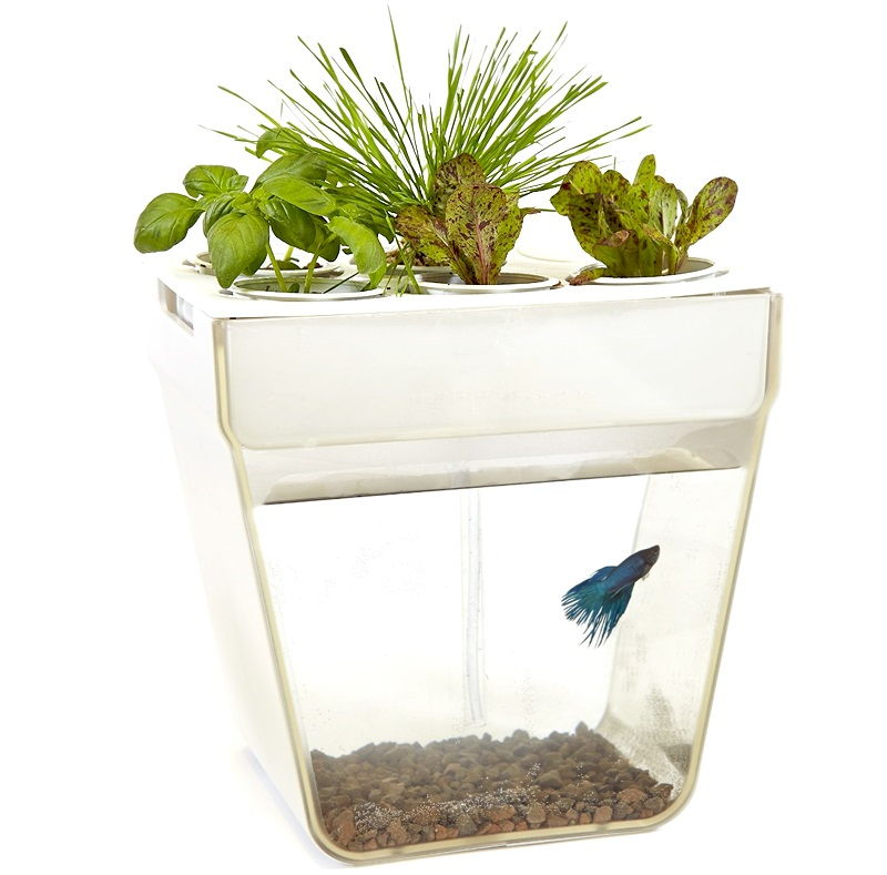Water Sprite Betta Fish No Longer a Mystery Image