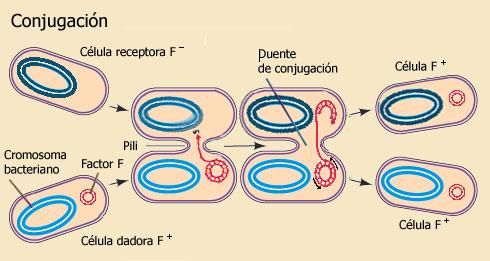 Reproduccion parasexual en los moneras