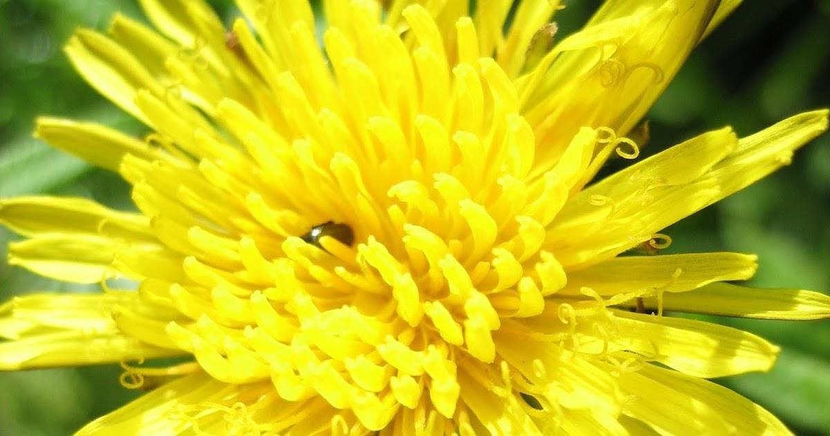 Blumensprache Lowenzahn