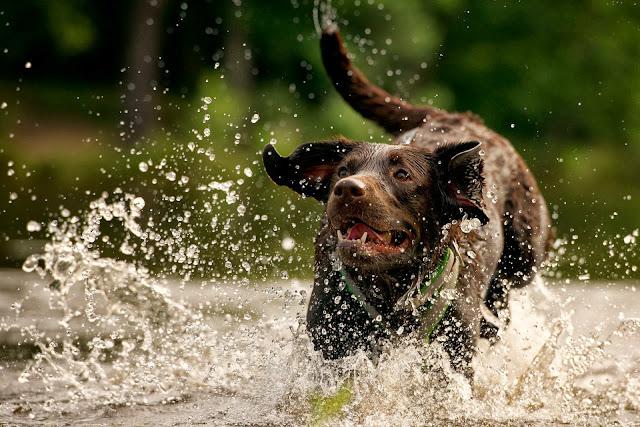 Hond aan het rennen en spelen in het water