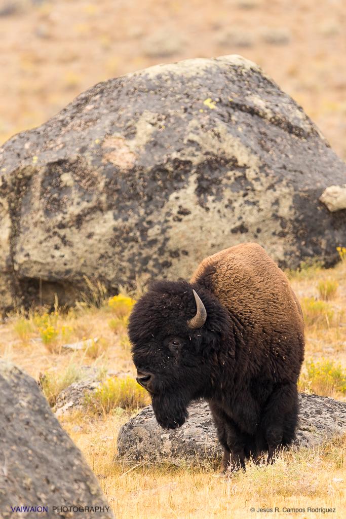 Ejemplar joven de bisonte. En la segunda parte, veremos más fotos de los legendarios buffalo