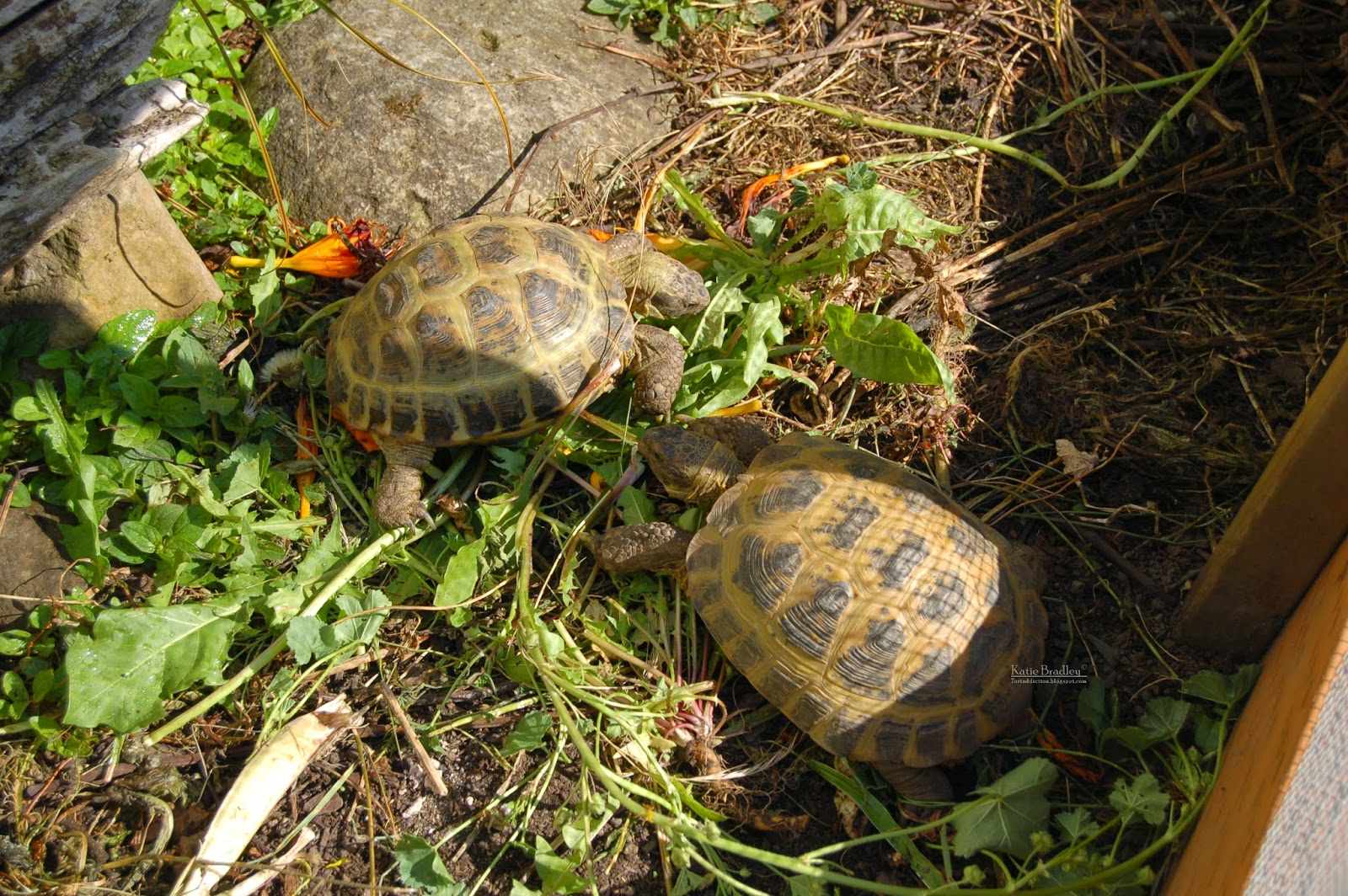 Keeping Russian Tortoises Outside In The Pacific Northwest
