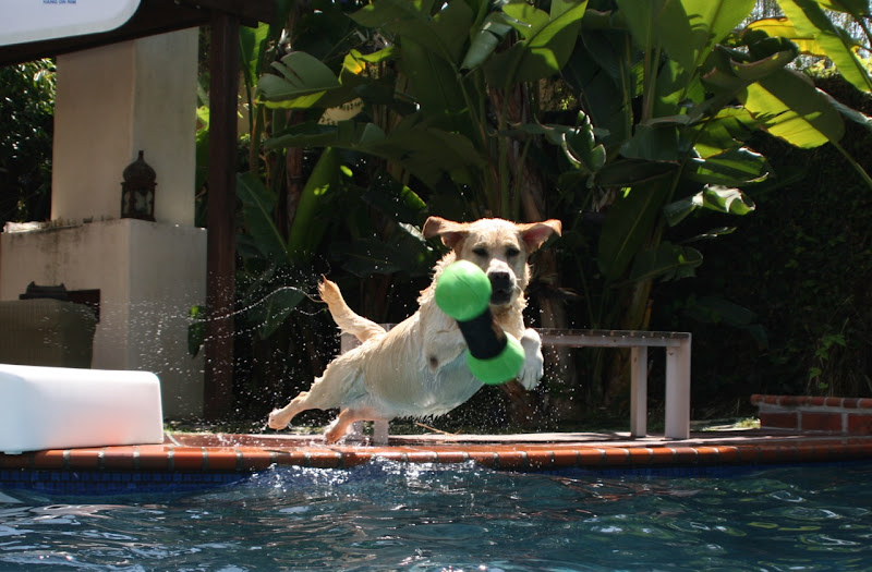 Labrador Cooper pool toy
