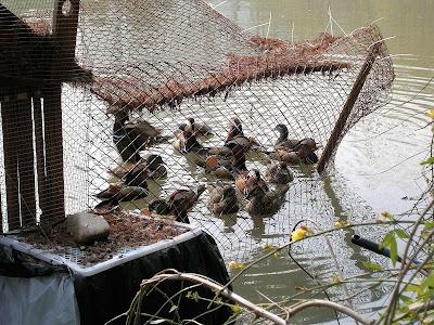 公園の池のオシドリ(3倍ズーム)を補正したもの