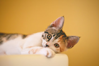 Kucing Tidak Mau Makan, Apa Yang Harus Dialkukan ?