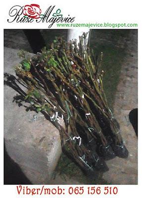 Katalog ruža stablašica