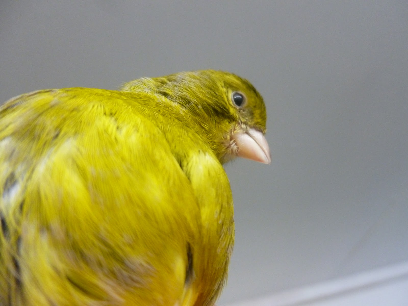 Canary : Red Mosaic / Dimorphic | Animals From Slightly Below