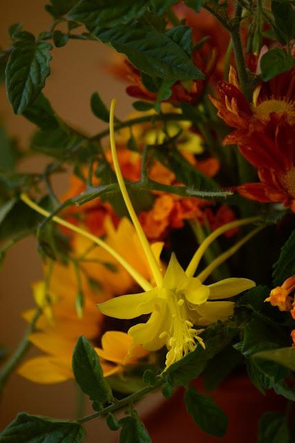 aquilegia chrysantha, swallowtail, yellow columbine, monday vase meme, chrysanthemum, lantana, berlandiera, tomato, sunflower, small sunny garden, flower arranging, desert garden, amy myers