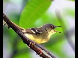 Burung Ciblek -  Ancaman Burung Ciblek yang Hampir Punah dan Konservasi Burung Ciblek -  Penangkaran Burung Ciblek