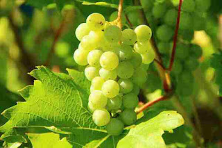 Grape benefits in hindi