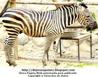 Foto de una cebra en plena comida en el Parque Zoológico de Huachipa por Jesus Gómez
