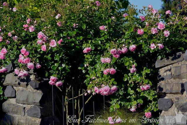 Rose, Jasmina