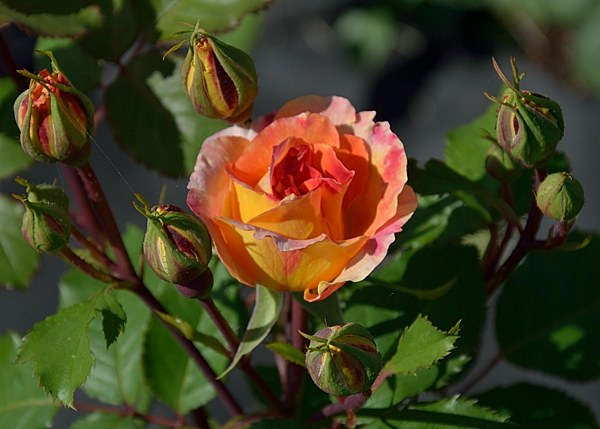 Pour L'Amour d'un Chateau сорт розы фото саженцы Минск