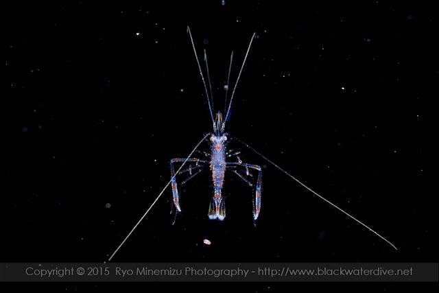 オトヒメエビのメガロパ幼生