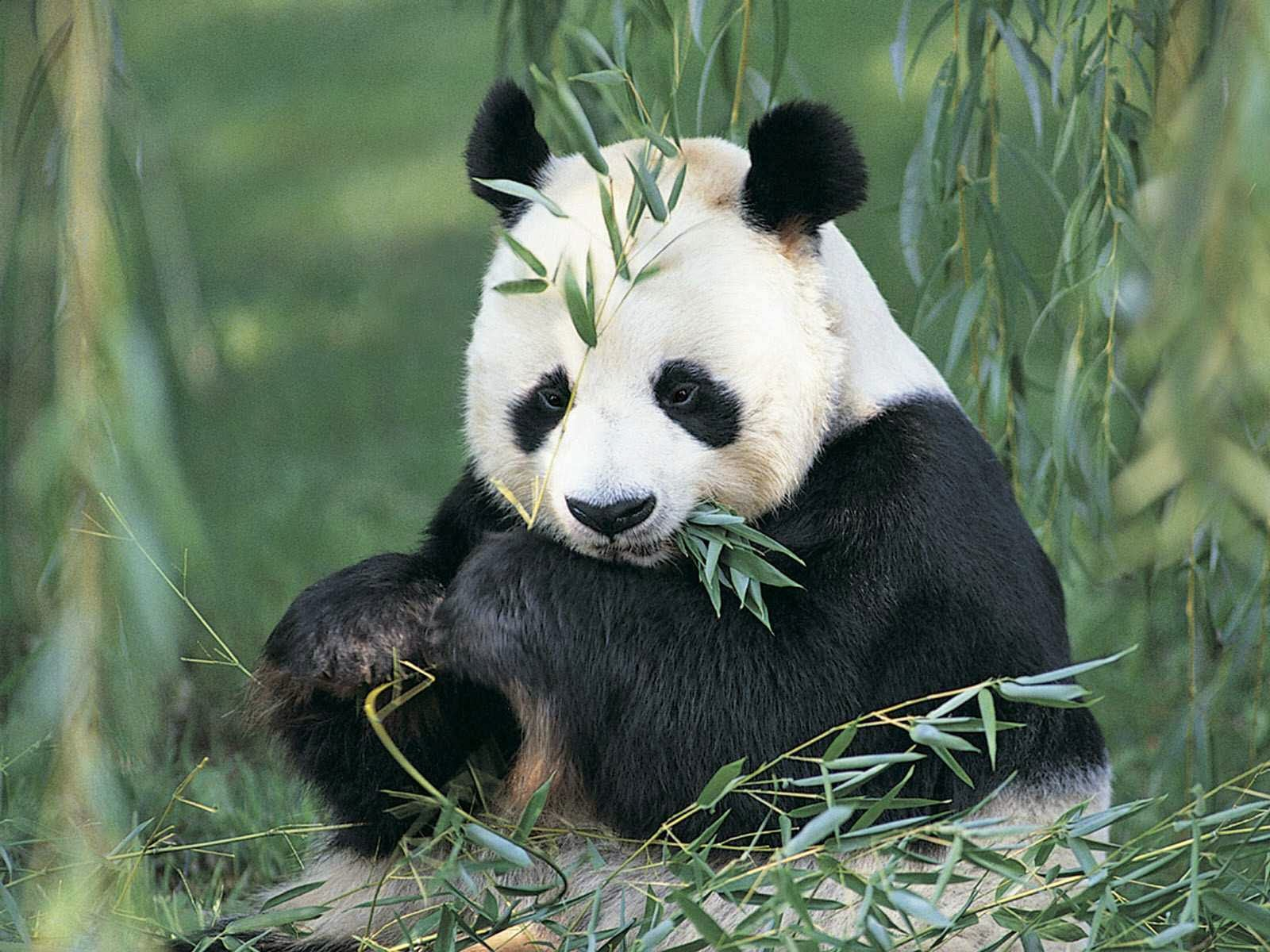 Unduh 76+ Gambar Hewan Panda Lucu Keren Gratis