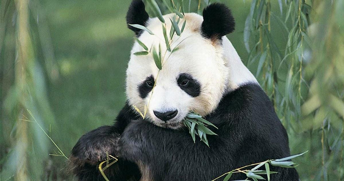 Gambar Foto Hewan gambar hewan panda dan asalnya