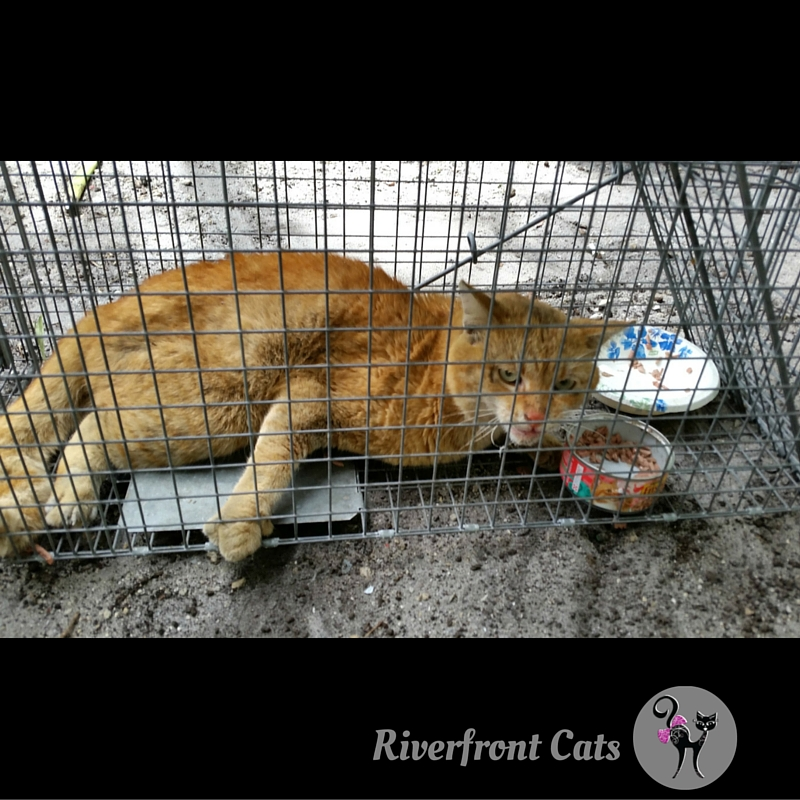 Cat holds onto cage with claws after being dragged into trap. & Riverfront Cats Downtown Miami: March 2016 Aboutintivar.Com