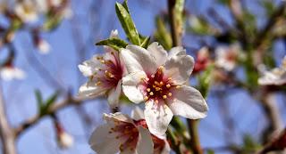 flors d'ametller per Teresa Grau Ros