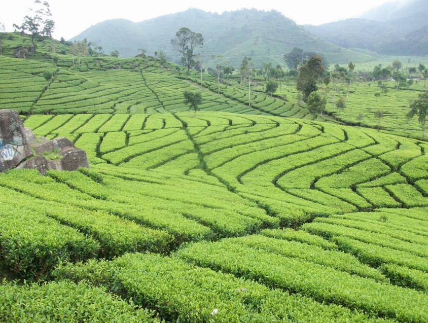 Gambar Kebun Teh Di Ciwidey Dunia Lain Tempat Wisata Di Bandung Kebun Teh Rancabali