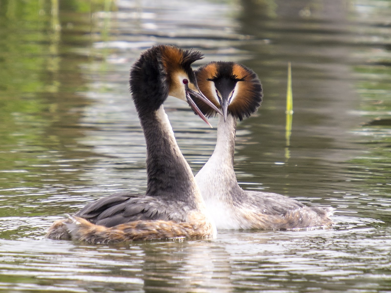 Picture of grebes dancing on water.