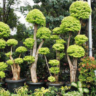 bonsai anting putri
