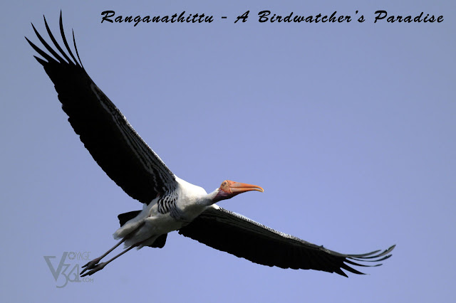 A Painted Stork in flight at Ranganathittu