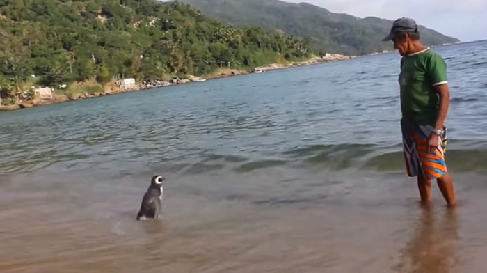 omorfos-kosmos.gr - Πινγκουίνος κολυμπά 8.000χλμ κάθε χρόνο για να συναντήσει τον άνθρωπο που των έσωσε
